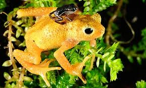 A newborn Kihansi spray toad clings to the back of an adult female