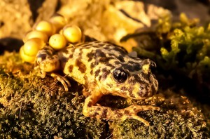 Majorcan midwife toad (Alytes muletensis) male carrying eggs